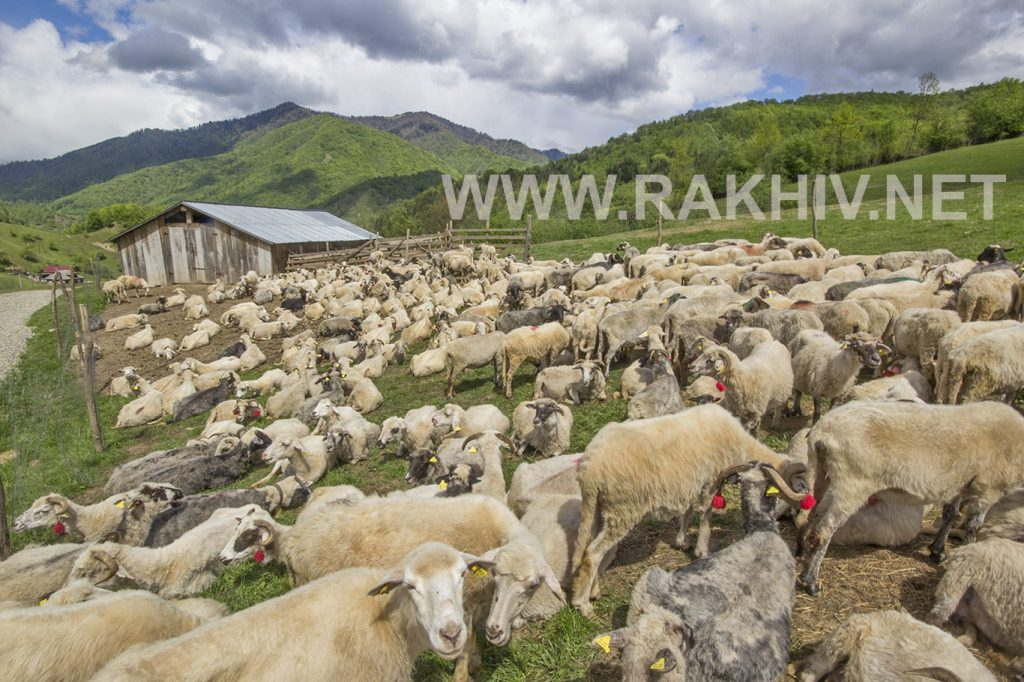 вівці_гуцульська_міра