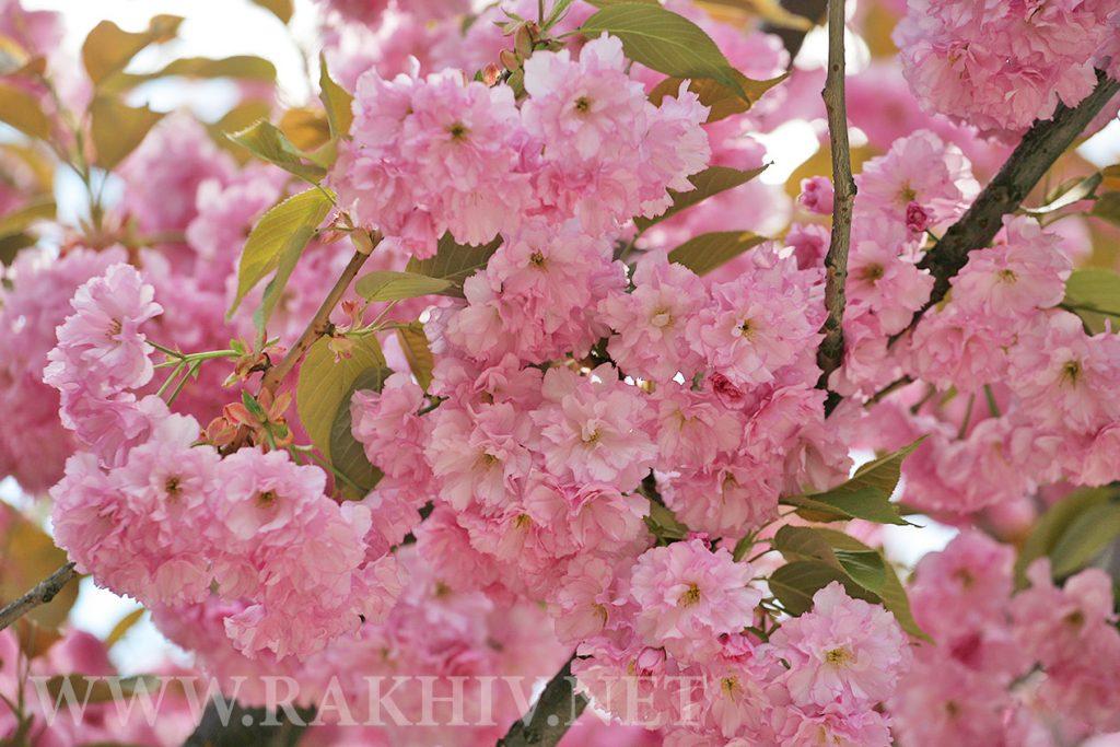 рахів сакура цвіте