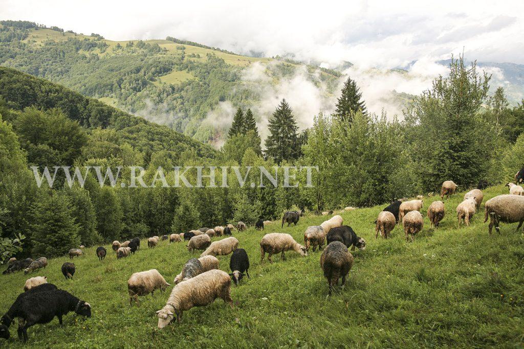 рахів вівці