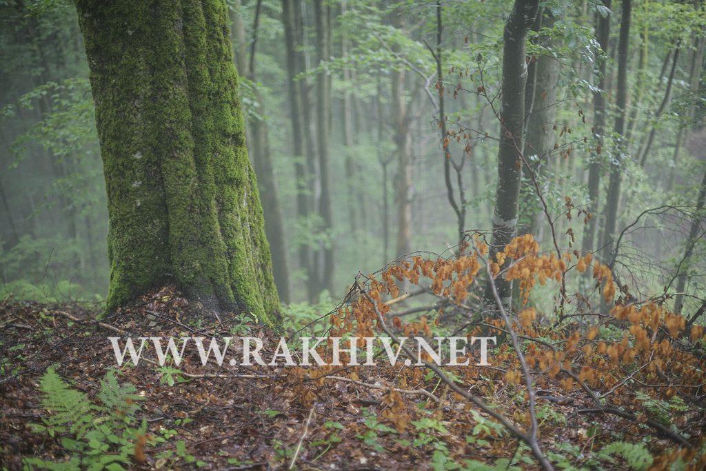 рахів ліс-фото