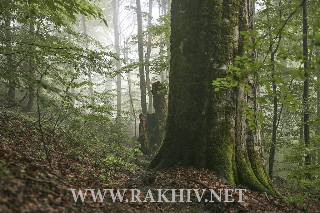 рахів-ліс фотоv